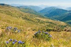 风铃草在喀尔巴阡山脉的山坡开花 库存照片