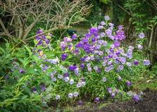 风铃草在庭院里 免版税图库摄影
