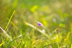 风铃草在草中增长 免版税库存图片