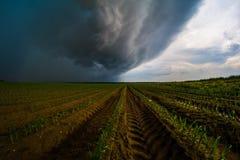 风雨如磐的玉米 库存图片