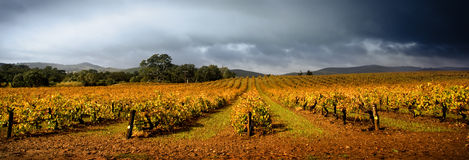 风雨如磐的葡萄园 库存图片