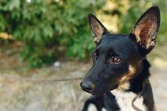 从风雨棚的滑稽的狗与摆在外面在晴朗的pa的大耳朵 免版税库存照片