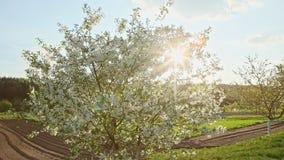 风震动在绿色领域的白色开花树反对阳光 股票录像