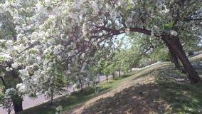 风震动苹果树的分支与白花的 股票视频