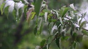 风震动雨秋天树、下落在树的叶子的,风和雨窗口外 影视素材