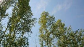 风震动绿色树枝反对蓝天背景 1080p 股票录像