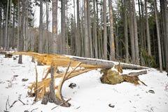 风暴剥去的杉树 库存照片