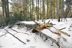 风暴剥去的杉树 库存图片