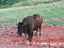 风穴国家公园水坑的北美野牛水牛城和矿物舔 库存照片