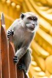 黑风洞猴子 图库摄影
