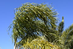 风 棕榈叶由风弯曲 库存图片