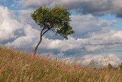 风blowed的偏僻的树 免版税库存照片