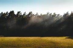 飘动在一个草甸的薄雾在与f的树的mornig阳光下 免版税图库摄影