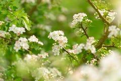 飘渺春天开花 库存图片