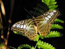 飞剪机蝴蝶休息 库存图片