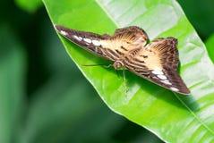 飞剪机蝴蝶- Parthenos西尔维亚海峡 库存图片