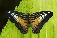 飞剪机蝴蝶, Parthenos西尔维亚海峡,坐绿色叶子 昆虫在黑暗的热带森林里,自然栖所 野生生物场面 免版税库存照片