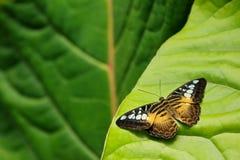飞剪机蝴蝶, Parthenos西尔维亚海峡,坐绿色叶子 昆虫在黑暗的热带森林里,自然栖所 野生生物场面 库存照片