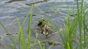 飞溅在水中的鸭子 影视素材