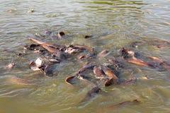 飞溅在湖的许多鱼 库存图片