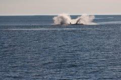 鲸鱼飞溅 免版税库存图片