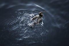 飞溅在水中的鸬鹚鸟 免版税图库摄影