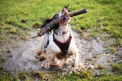 飞溅在水坑的湿狗 免版税图库摄影