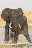 飞溅在水,南非中的男性非洲大象 库存照片