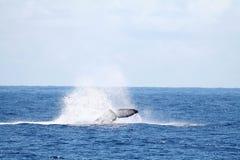 飞溅尾标鲸鱼 库存图片