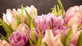 飞溅水飞行在光在郁金香美丽的花束  开花在黑背景的浅粉红色的郁金香花 股票视频