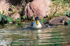 飞溅的鸭子,自夸和清洗羽毛全身羽毛在湖 免版税库存图片