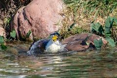 飞溅的鸭子,自夸和清洗羽毛全身羽毛在湖 免版税库存照片