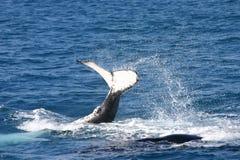 飞溅鲸鱼的驼背 免版税库存图片