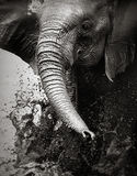 飞溅水的大象 免版税库存图片