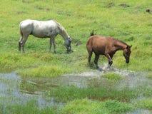 飞溅水的马 免版税库存图片