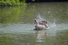 飞溅水,储蓄图象的天鹅 图库摄影