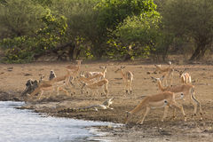 飞羚、狒狒和一条鳄鱼在河岸,在更低的萨比,克鲁格,南非 库存照片