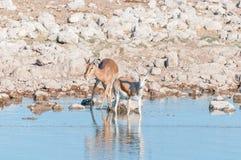 年轻飞羚公羊和一只幼小跳羚在waterhole 库存图片