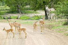 飞羚和斑马在多灰尘的路在Umfolozi比赛储备,南非,在1897年建立 免版税图库摄影