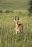 飞羚在乌干达 免版税库存图片