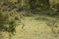 飞羚在森林里 免版税图库摄影