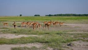 飞羚在狂放的非洲平原的羚羊牧群 股票视频
