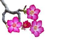 飞羚在白色背景的百合或沙漠玫瑰孤立 免版税图库摄影