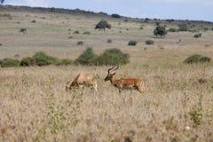 飞羚在肯尼亚 库存图片