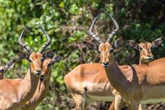 飞羚大型装配架男性女性野生生物 库存图片