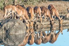 飞羚母羊和年轻公羊饮用水 库存照片