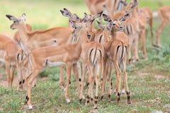 飞羚母鹿在危险环境里爱抚她新出生的羊羔 免版税库存图片