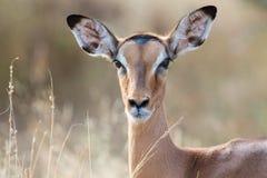飞羚母鹿头特写镜头画象可爱的颜色 免版税库存照片