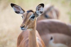 飞羚母鹿头特写镜头画象可爱的颜色 库存照片