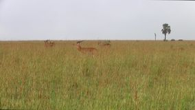 飞羚牧群在草平原的 股票视频